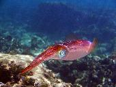 CARRIBEAN REEF SQUID
