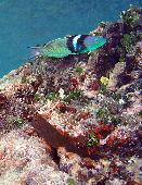 RED LIPPED BLENNY AND BLUE HEADED WRASSE
